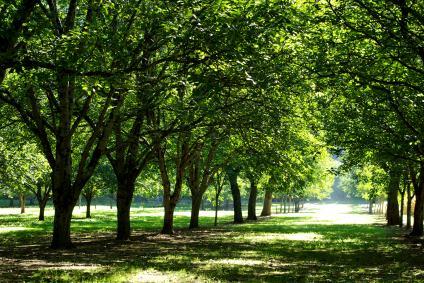 Tree-walnut-plantation